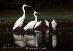 The Egrets by Natureimages http://ift.tt/28WBN6T