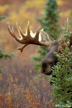 Play peek a boo with a moose. Denali National Park, Alaska