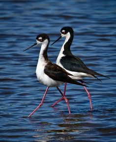 emuwren:  The Black-winged Stilt - Himantopus himantopus, is a widely distributed long legged wader in the Avocet and stilt family Recurvirostridae. This species has a wide range, including Australia, Central and South America, Asia and parts of North America. Photo by Bill Holsten.