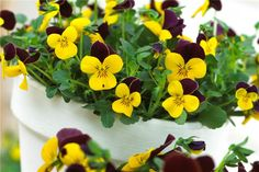 Genus: Viola Cultivar: Jackanapes Plant type: Hardy perennial Flower colour: Yellow Foliage colour: Mid-green Feature: Flowers Sun exposure: Full sun, Partial shade Soil: Well-drained/light, Boggy Hardiness: Hardy Skill level: Beginner Height: 12cm Spread: 30cm Time to take cuttings: July to August Flowering period: May to August