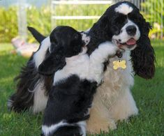 Pipa - A merry black and white parti color American Cocker Spaniel 💜 White Cocker Spaniel, American Cocker Spaniel, Cocker Spaniel Puppies, English Cocker Spaniel, Beautiful Dogs, Animals Beautiful, Cute Animals, I Love Dogs, Cute Dogs