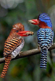 Banded kingfishers
