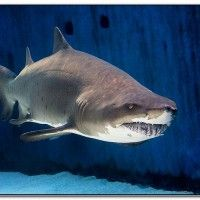 Aquariums in california with sharks