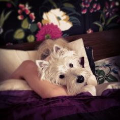 Picture of Milo, a West Highland White Terrier dog on Dogster