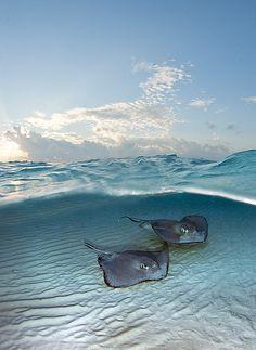 Beautiful Sea Creatures, Animals Beautiful, Orcas, Stingray Fish, Fauna Marina, Deep Blue Sea, Ocean Creatures, Beautiful Ocean, Underwater World