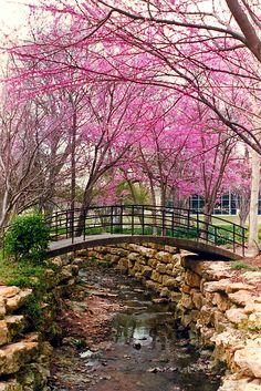 Bridge & Redbuds, Fort Worth Botanical Gardens