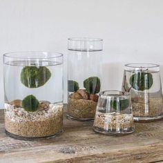 """Marimo Moss Balls have arrived! 💚 Marimo is a Japanese word that translates to """"seaweed ball."""" They are actually not moss but a form of… Marimo Moss Ball Terrarium, Water Terrarium, Terrariums, Succulents Garden, Garden Plants, Planting Flowers, Indoor Water Garden, Indoor Plants, Dorm Plants"""
