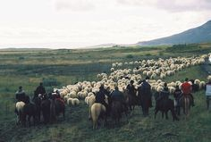 annual collection of sheep from the mountains, Iceland by white_beard, via Flickr