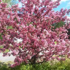 Purppuraomenapuu Makamik - Viherpeukalot
