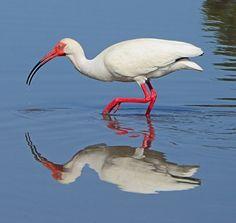 Nature Photography Ibis Bird Fine Art Southport North Carolina Reflections Greeting Cards