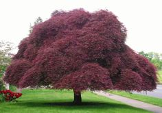 "Acer pal. d. ""Tamukeyama"" – (Weeping Japanese Maple) 