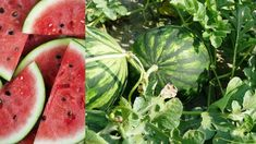 Grow Bags, Watermelon, Fruit, Gardening, Lawn And Garden, The Fruit, Urban Homesteading, Horticulture