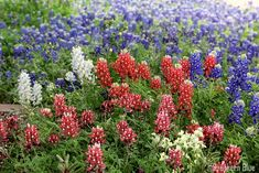 Red, white, and blue bluebonnets - Wildseed Farm, Fredericksburg, Texas