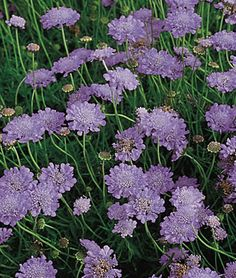 Butterfly Blue Scabiosa Seeds and Plants, Perennnial Flowers at Burpee.com