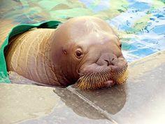 baby walrus | baby walrus! | WALRUS