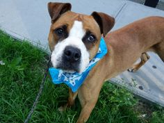 KILLED BY ACC - 07/06/15 - BUBBA - A1040752 - - Manhattan - TO BE DESTROYED 07/06/15 - NEUTERED MALE BROWN AND WHITE AM PIT BULL TER MIX, 3 Yrs - OWNER SUR ON 06/19/15 - ALLERGIES