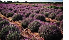 Lavender farms abound in the Texas Hill Country. Find just where you can go when you want to stroll through fields of fragrant lavender. Texas Hill Country, Texas Farm, Country Farm, Ranch Farm, Texas Roadtrip, Fields, Vineyard, Places To Go, Farms