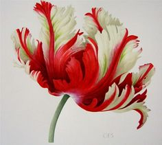 Parrot tulip red/white