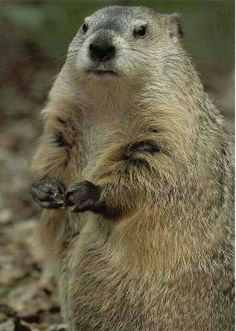 Chubby old groundhog.