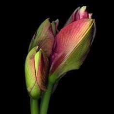 THE LOVELY  BEGINNING... AMARYLLIS by Magda Indigo on 500px