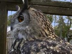 ▶ Halloween Science: National Geographic Wildlife Wonders, Owls - The Silent Hunters - YouTube