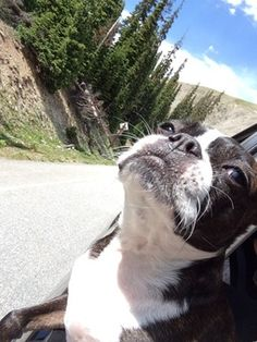 Road trip boston terrier