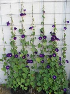 Gardening For Beginners Photo of Tall Morning Glory 'Star of Yelta' (Ipomoea purpurea) Growing Plants From Seeds, Growing Flowers, Planting Flowers, Flowers Garden, Climbing Plants Fast Growing, Garden Trellis, Garden Plants, Balcony Garden, Porch Garden