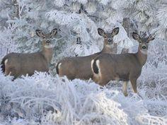 David Bullock's photo of deer in northern Oregon.