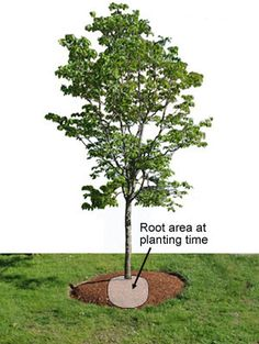 The Top 3 Rules for Tree Care 1. Water 2. Water 3. Water (Info on wating care for newly established and established trees}