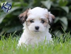Keystone Puppies has a puppy finder feature setting you up to find and buy a dog perfect for your home. Havanese Puppies For Sale, Gentle Leader, Puppy Finder, Buy A Dog, Dog Training Techniques, Aggressive Dog, Training Collar, Dog Show, Cute Animals