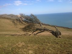 Wind blasted Hawthorn on the eastern side of Golden Cap, Dorset. Countryside, England, Cap, Outdoors, Mountains, Places, Pictures, Travel, Baseball Hat