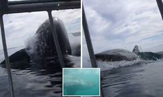Dare you to come out of the cage! Diver films terrifying moment a monster great white launches itself out of the water to eyeball tourists in a shark cage   Read more: http://www.dailymail.co.uk/news/article-3605795/Man-films-great-white-shark-breaching-right-near-cage-South-Africa.html#ixzz49ekNu0Zi  Follow us: @MailOnline on Twitter | DailyMail on Facebook