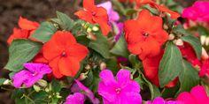 Ιμπάτιενς, το ερωτάκι με τα υπέροχα λουλούδια | Τα Μυστικά του Κήπου Plants, Window Boxes