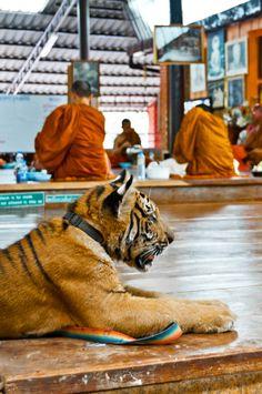 Tiger Temple, Wat Pha Luang Ta Bua, Kanchanaburi, Thailand