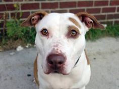 GONE - 10/19/14 Brooklyn Center   My name is NELLIE. My Animal ID # is A1017132. I am a female tan and white pit bull mix. The shelter thinks I am about 2 YEARS   I came in the shelter as a STRAY on 10/11/2014 from NY 11208, owner surrender reason stated was STRAY.  https://www.facebook.com/photo.php?fbid=889916467687900