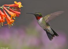 RUBY-THROATED HUMMINGBIRD.....weighs 3 grams. In comparison, a nickel weighs 4.5 grams.....wings beat about 60-80 times per second in normal flight.....the most widespread among all hummingbird species                                                                                                                                                                                 More
