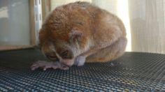 ねむ。。。 Slow Loris, Rabbit, Animals, Animal Pictures, Animales, Animaux, Rabbits, Animais, Lemur