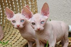 The Dwelf cat is a new cat breed. This cat includes the bald attribute of the Sphynx cat, the small thighs of the Munchkin kitten along with the curled ears of the American Curl. The result is a really unique-looking pet. Sphynx Kittens For Sale, Kitten For Sale, Puppies And Kitties, Kittens Cutest, Cats And Kittens, Cute Cats, Hairless Cats, Dwelf Cat, Munchkin Kitten