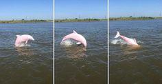 ¡Conoce al extremadamente raro y hermoso delfín color rosa!