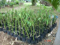 Various ways of propagating bamboo. Easy, simple, clear instructions.   Bamboo Against Emissions: BAMBOO GROWING & PROPAGATION