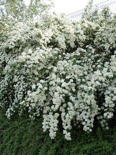 Spirée en pleine floraison au printemps dans Cap 18, Paris 18e (75)