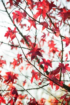 Autumn colour: Liquidambar styraciflua 'Lane Roberts'. Maple-like leaves take on long-lasting black-crimson hues in autumn. Read more about it here  http://www.gardenersworld.com/blogs/plants/liquidambar-plant-this-tree/2647.html  Photo by Jason Ingram.