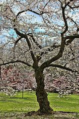 Featured Art - Cherry Blossom Trees of Branch Brook Park 31 by Allen Beatty