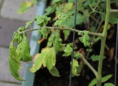 Why are my tomato plant leaves rolling and shriveling up