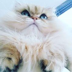 ぺるちゃん、大好き(^-^)! 大好き!大好き!  って、いつも思います。  大好きがいつもそばにいるって、  とても幸せなこと。  だから、いつも、  なんだか幸せな感じ♪  #大好き #ネコ#ねこ#猫#アート #ライフスタイル#絵画 #美術展#パリ#詩 #絵本#絵#エッセイ #愛猫#ペルシャ#本  #happy#culture#japan #lifestyle#life #follow#followme #cat#paris #love#art #gallery#modern #andcat