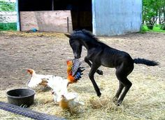 newborn foal having fun ambushing the chickens -- too cute -- well, the chickens probably disagree though :o)