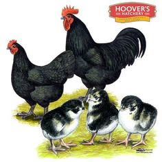 Black Australorp Chicks for Sale, Buy Black Australorp Chickens, Black Australorp Chicken Image Picture