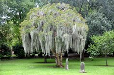 İspanyolca Moss ile krep Myrtle ağacı