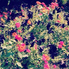 Black petunias and pink lantana--gorgeous.