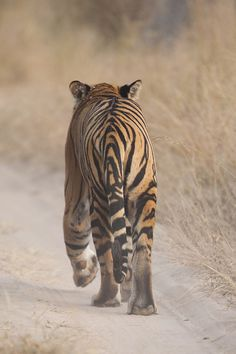 supreme-essence: ༺ ♠ ŦƶȠ ♠ ༻ supreme-essence: Tiger by Skyisr on Flickr.